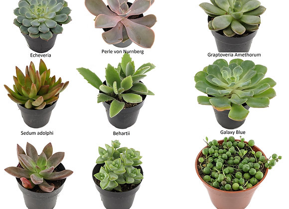 """Assorted Succulents 2.5"""" Pack of 5"""