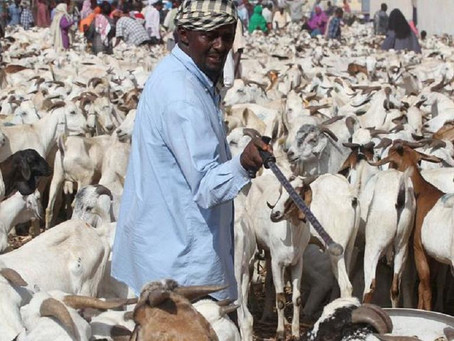 "The ""Animal migration"" in Mogadishu, the livestock trading markets"