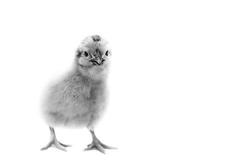 Charlie Chick