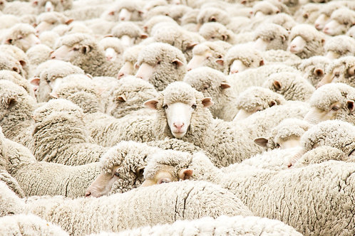 Face in the flock