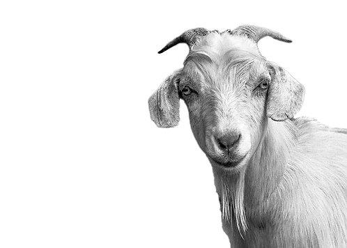 Gertrude Goat