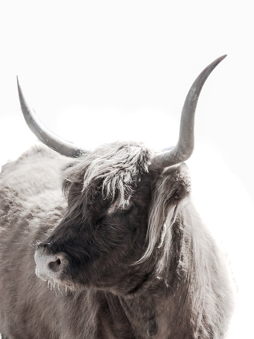 Highland Bull colour