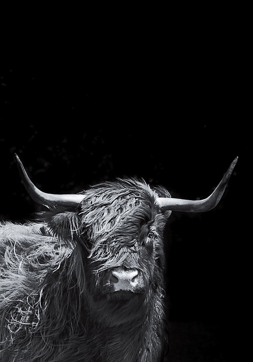 Highland Bull on black