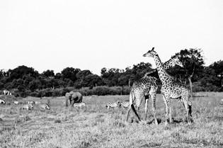 Aug_Sep_06_Masai_Mara_Giraffes (4).JPG