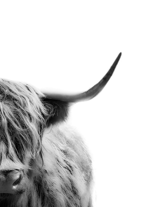 Highland Bull black and white