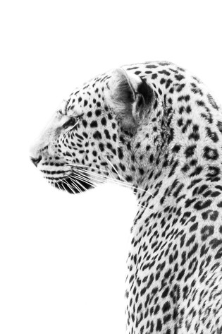 'Leo Leopard'