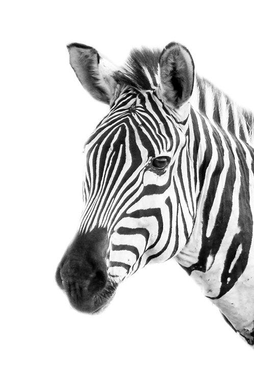 Zena Zebra