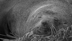 697_Smiling Seal - Cape Palliser_343.JPG