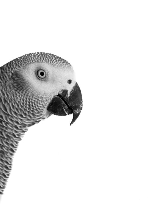 Percy Parrot
