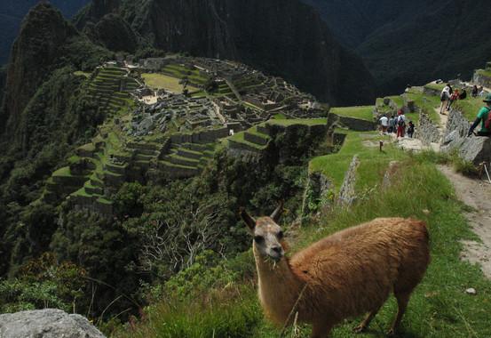 Lama life, Machu Picchu