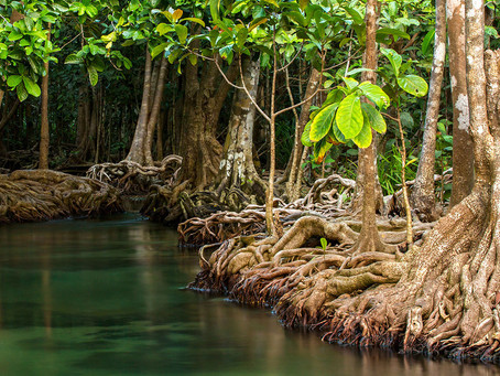 Blue Forests and Carbon Currencies- What can you learn from Mikoko Pamoja?