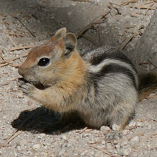 Tahoe Golden Mantled Squirrel.jpg