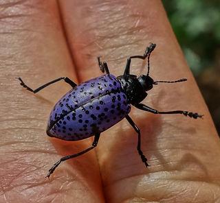 New Mexico Purple Beetle.jpg