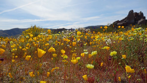 California Desert Poppies.jpg