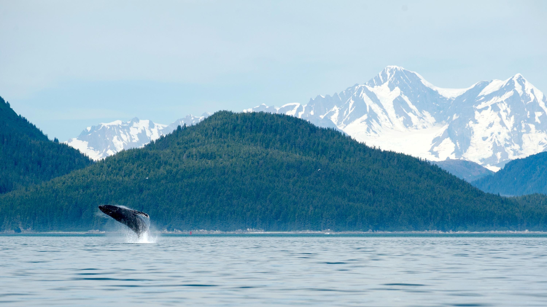 Wild Alaska Humpback Whale.jpg