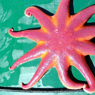 Wild Alaska Sea Star.jpg