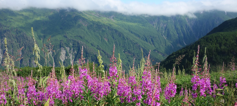 Wild Alaska Fireweed.jpeg