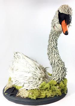 L.Brasher nesting swan