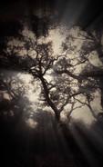Forest Study  At Sundown