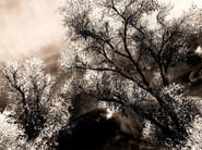 The Cottonwoods  In Autumn