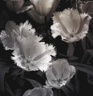 Tulip Study