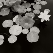 Water Lily Study