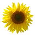 sunflower-small.png