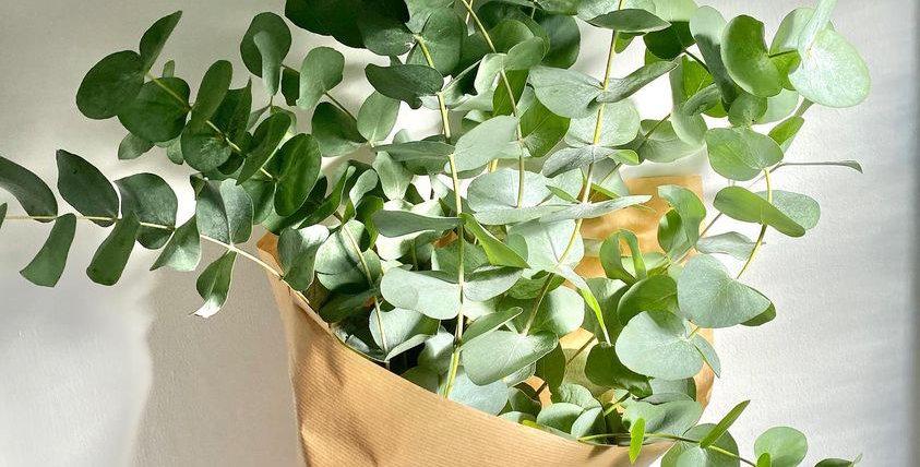 Eucalyptus Cinerea – Large Bunches