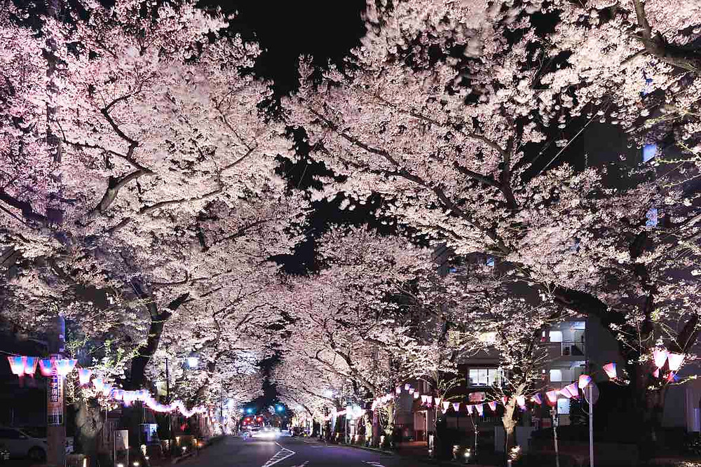 Higashimurayama cherry blossoms at night (© TCVB)
