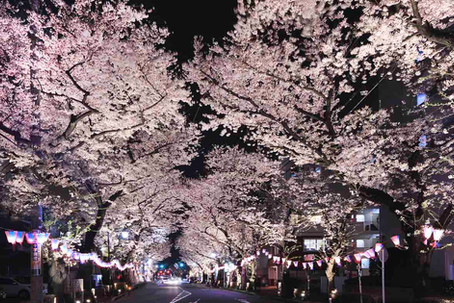 A walk in the (cherry blossom) park