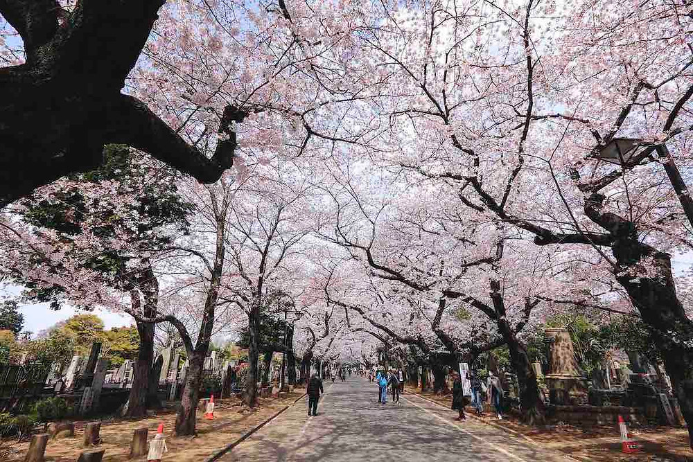 Yanaka-reien cemetery cherry blossoms (© TCVB)