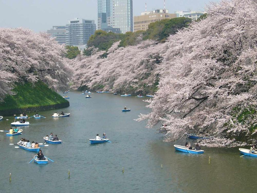 Chidorigafuchi cherry blossoms © TCVB