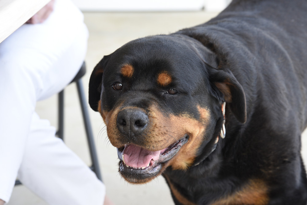 Lola the Rottweiler is one of three winery dogs.
