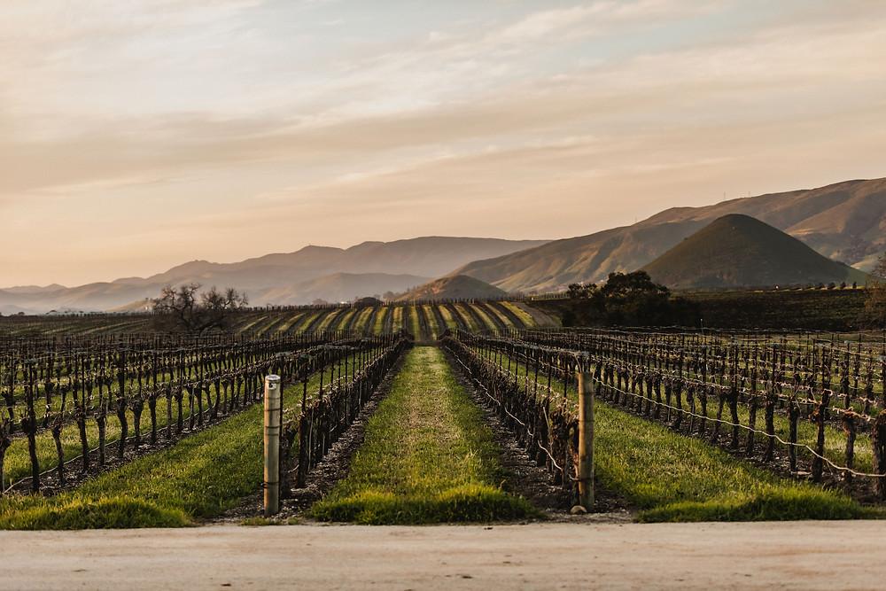 San Luis Obispo Vineyards at the Beginning of the Growing Season