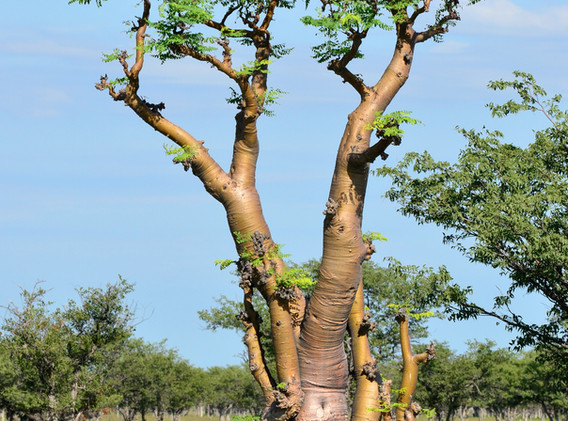 moringa tree in african savanna,Namibia,