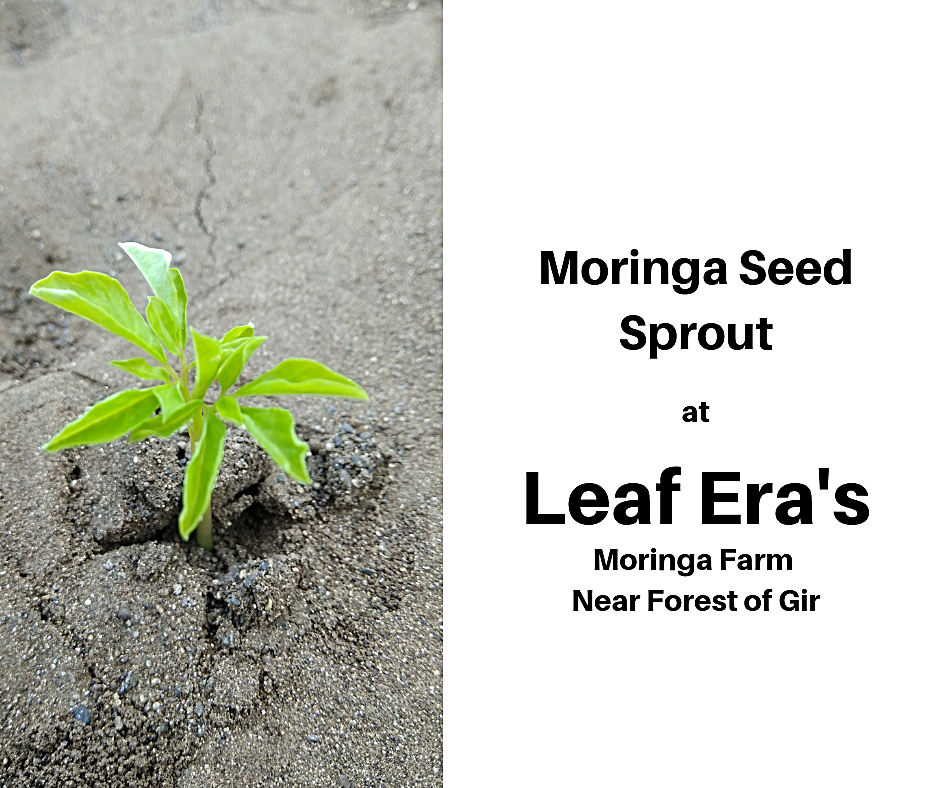 Moringa Seed Sprout Leaf Era web_edited.