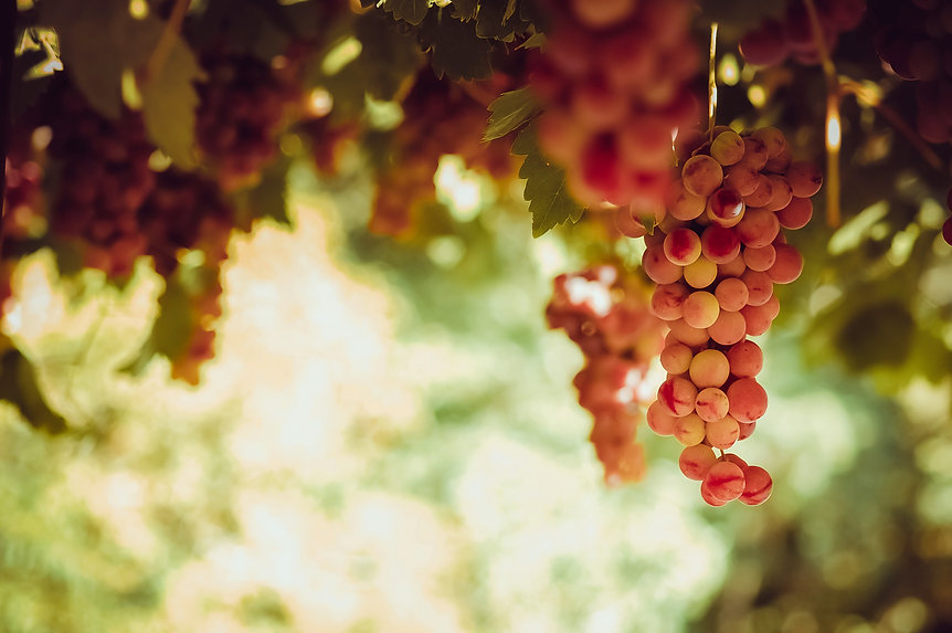 red-grape-bunches-hanging-from-vine-sun-