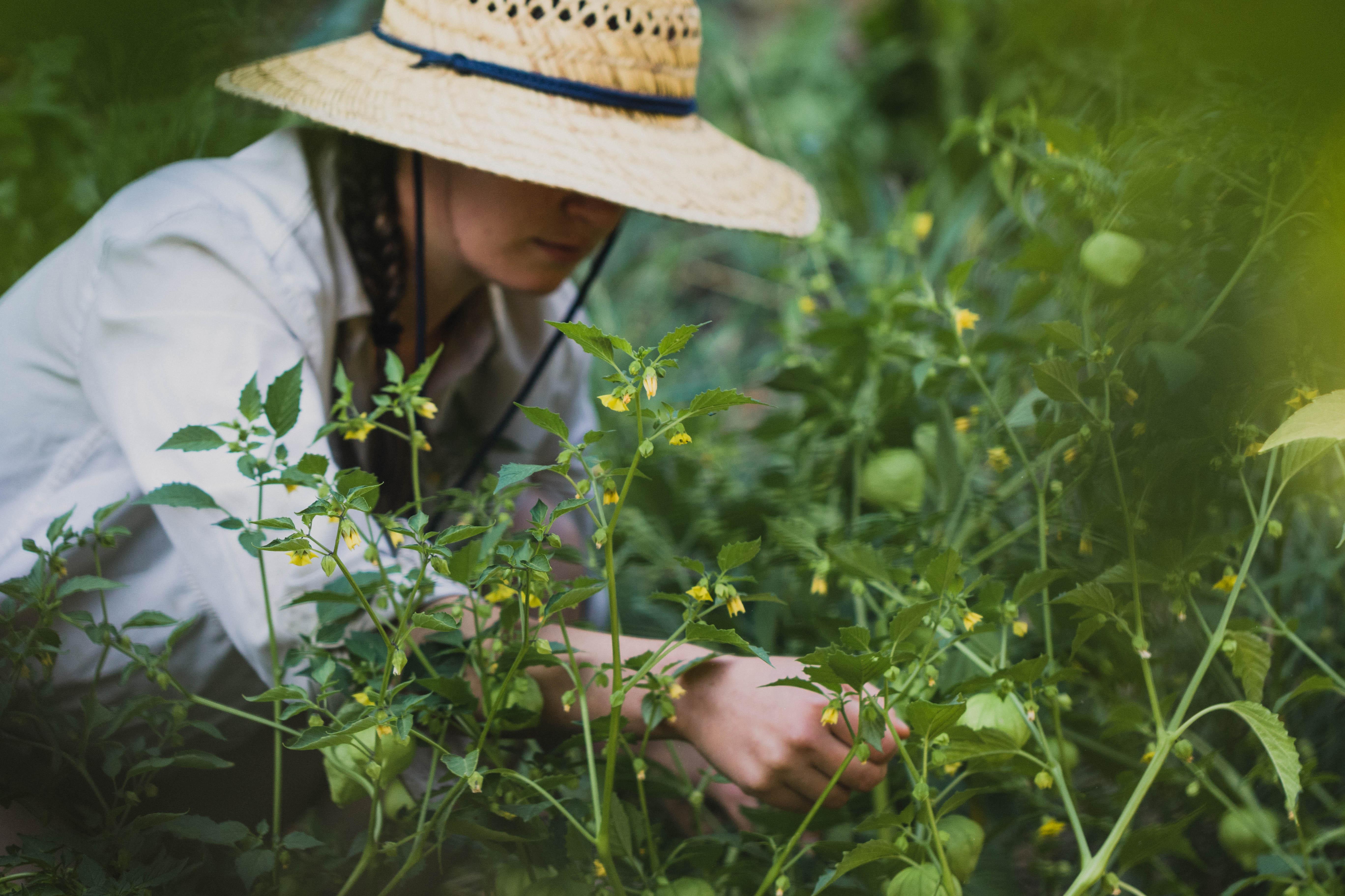 Harvesting Tomatillos