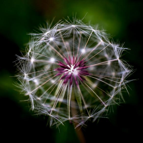 Dandelion-11.jpg