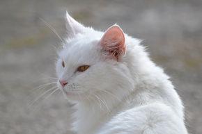 Rémy, chatte toute blanche au ploils longs