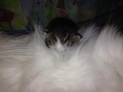 Chaton dans les poils blancs mère