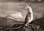 Kangaroo or 'Gangurru'