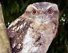 Frog Mouthed Owl
