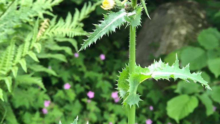 Pflanzenkunde und Wildkräuterküche, Teil 2 - die nächsten 15 Pflanzen (BASIS-MODUL)