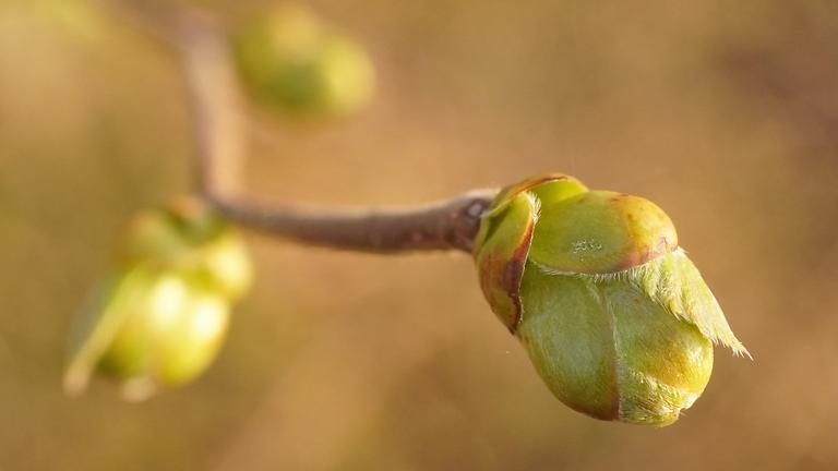 """Gemmo: Knospen als Nahrung und Heilmittel (FB: """"Wildpflanzenprodukte"""" + """"Heilpflanzen & Hausapotheke"""") (WARTELISTE)"""