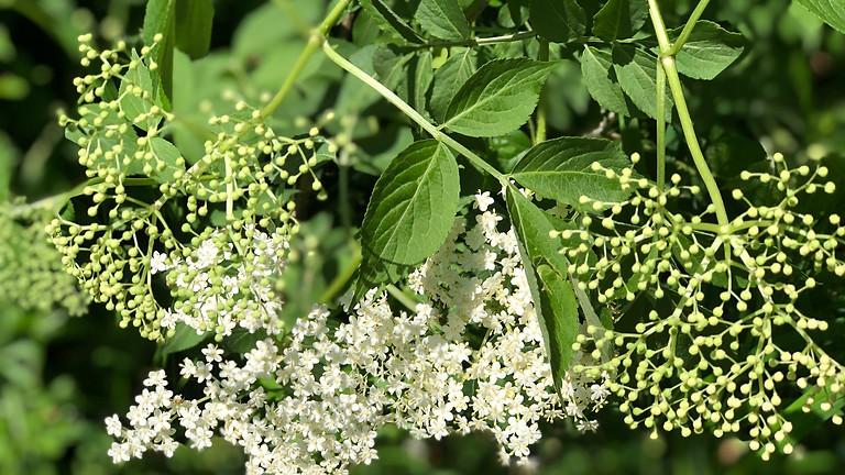 """Prophylaxe & Therapie mit heimischen Heilpflanzen (Teil 2) / (FB: """"Heilpflanzen & Hausapotheke"""")"""