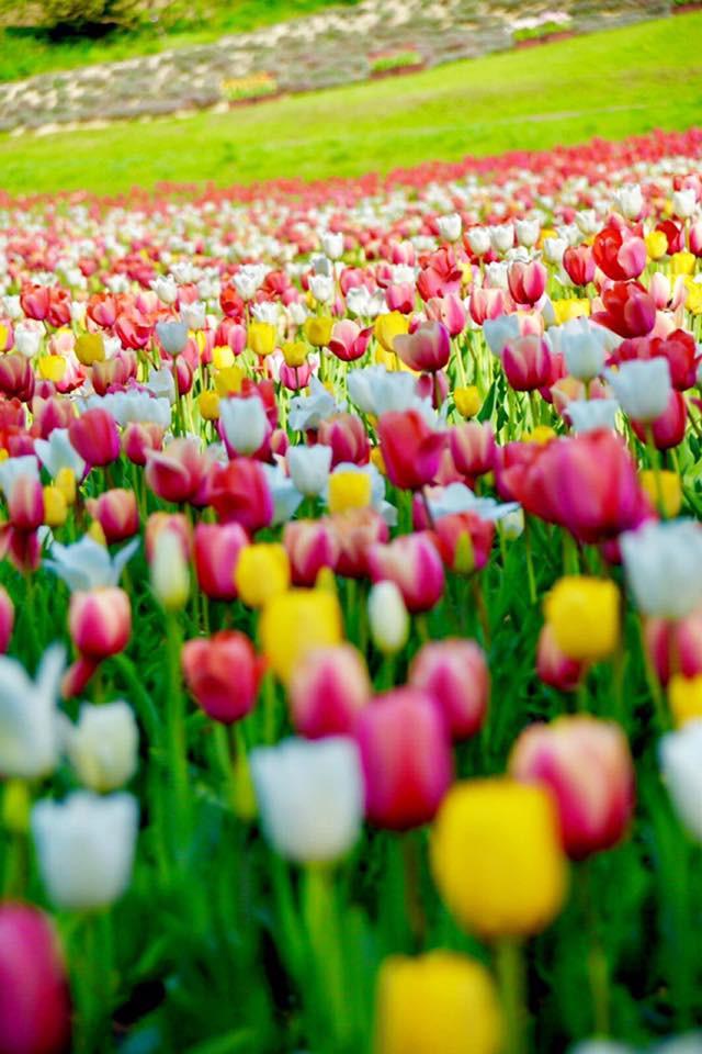 五月是鬰金香的季節