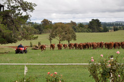 Farm Activities - Moving the Cows