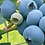 Thumbnail: Frozen Blueberries