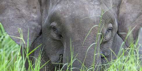 Elephant Malaysia.png